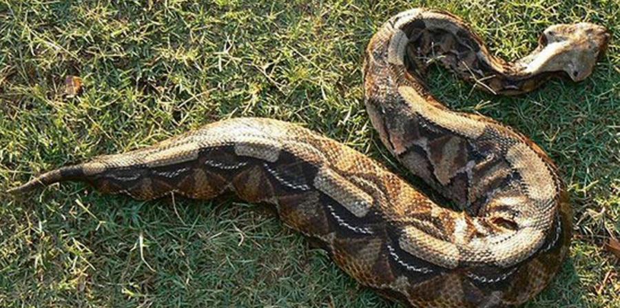 Lluvias en el sur de Florida han provocado aparición de serpientes venenosas
